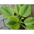 Funkia 'Moon Split' (Hosta)