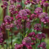 Jarzmianka większa 'Star of Beauty' (Astrantia major)