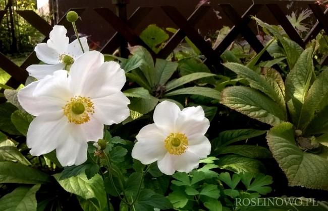 Zawilec japoński 'Whirlwind' (Anemone hybrida)