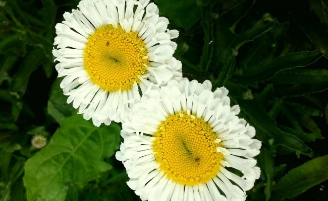 Złocień wielki 'Real Neat' (Leucanthemum maximum)