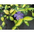Barwinek pospolity 'Illumination' (Vinca minor)