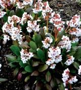 Bergenia 'Angel Kiss' (Bergenia cordifolia)