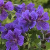 Bodziszek wspaniały 'Rosemoor' (Geranium magnificum)