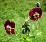 Bodziszek żałobny (Geranium phaeum)