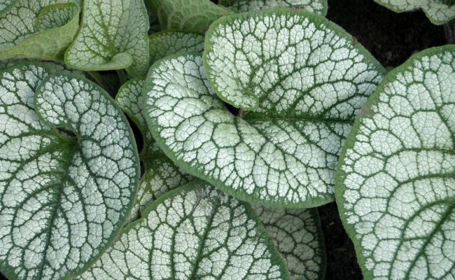 Brunera wielkolistna 'Sea Heart' (Brunnera macrophylla)