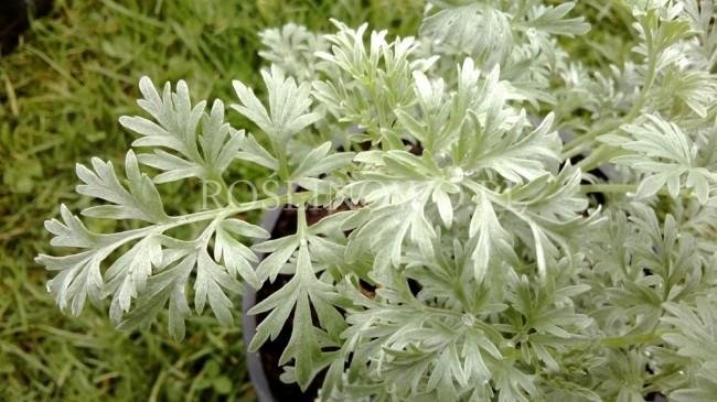 Bylica piołun (Artemisia absinthium) ODSTRASZA KOMARY