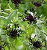 Chaber górski 'Black Sprite' (Centaurea montana)