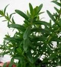 Bylica draganek - Estragon (Artemisia dracunculus)