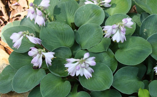Funkia 'Blue Mouse Ears' (Hosta)