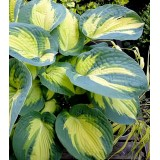 Funkia 'Dream Queen' (Hosta)