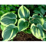 Funkia 'Earth Angel' (Hosta)