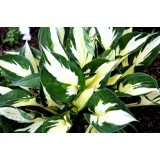 Funkia 'Eternal Flame' (Hosta)