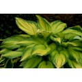 Funkia 'On Stage' (Hosta)