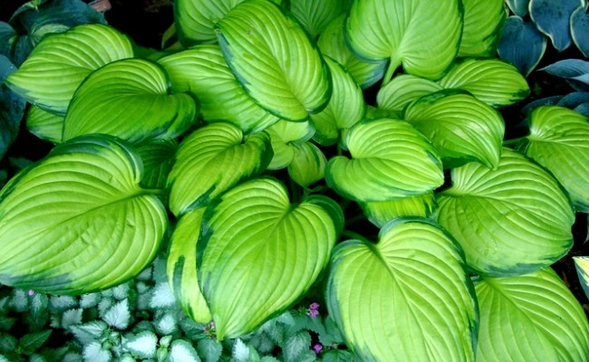 Funkia 'Stained Glass' (Hosta)
