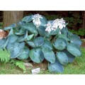 Funkia 'Abiqua Drinking Guard' (Hosta)