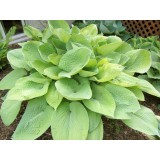 Hosta 'August Moon' (Funkia)