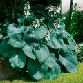 Hosta 'Big Daddy' (Funkia)