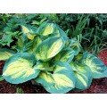 Funkia 'Dream Weaver' (Hosta)