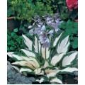 Hosta hybrida 'Fire and Ice' (Funkia)