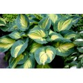 Funkia 'Great Expectation' (Hosta)