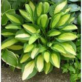 Funkia 'Gypsy  Rose' (Hosta)