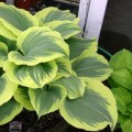 Funkia 'Liberty' (Hosta)