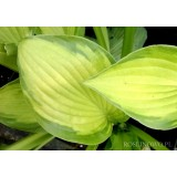 Funkia 'Lunar Orbit' (Hosta)