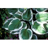 Funkia 'Minute Man' (Hosta)