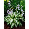 Funkia 'Night Before Christmas' (Hosta)