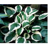 Hosta hybrida 'Patriot (Funkia)