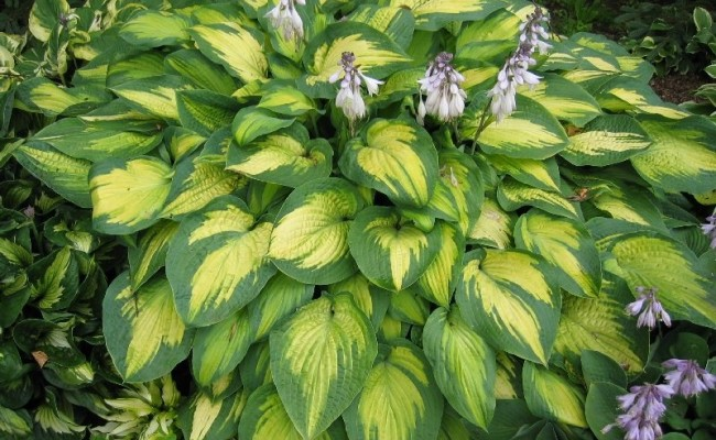 Funkia Paul's Glory (Hosta)