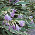 Funkia 'Stiletto' (Hosta)