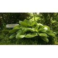 Funkia 'Sum & Substance' (Hosta)