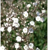 Gipsówka wiechowata 'Bristol Fairy' (Gypsophila paniculata)
