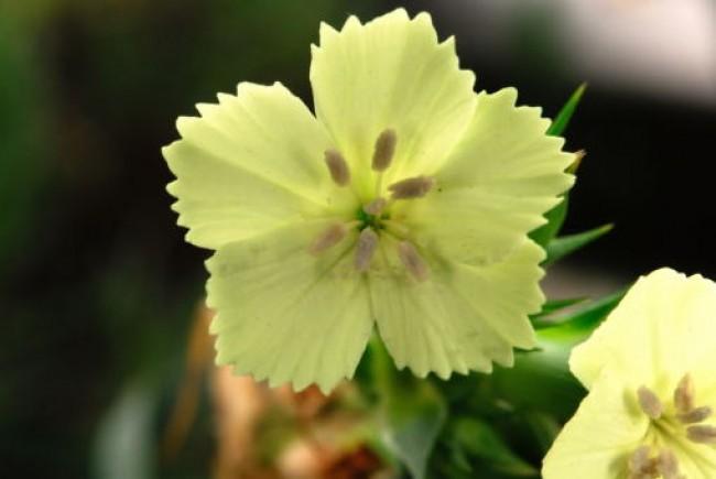 Goździk Knappa 'Yellow harmony' (Dianthus knappi 'Yellow harmony')