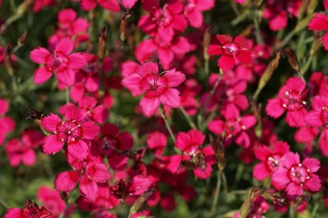 Goździk kropkowany 'Brillant' (Dianthus deltoides 'Brillant')