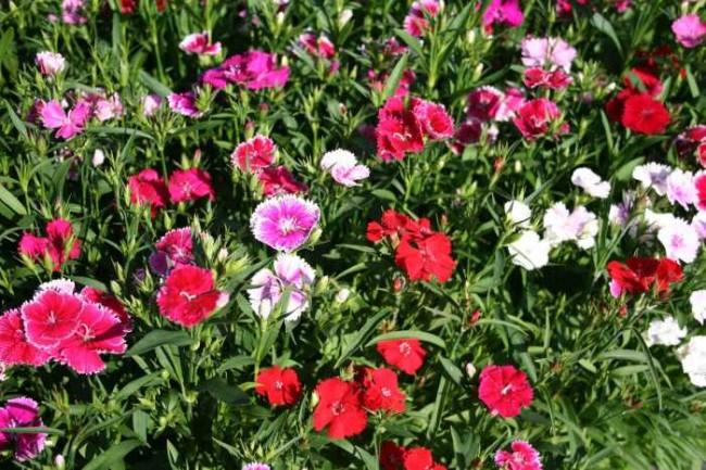 Goździk pierzasty 'Spring Charm' (Dianthus plumarius 'Spring Charm')