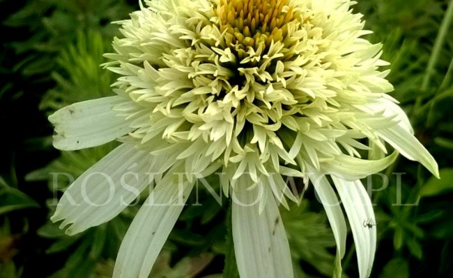 Jeżówka 'White Double Delight' (Echinacea)