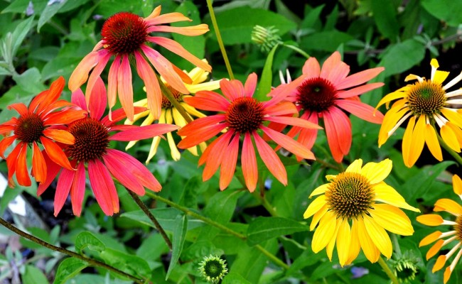 Jeżówka 'Cheyenne Spirit – color mix' (Echinacea)