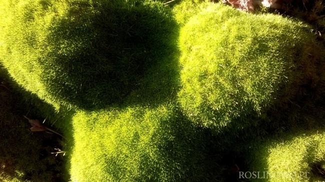 Karmnik ościsty 'Aurea' (Sagina subulata)