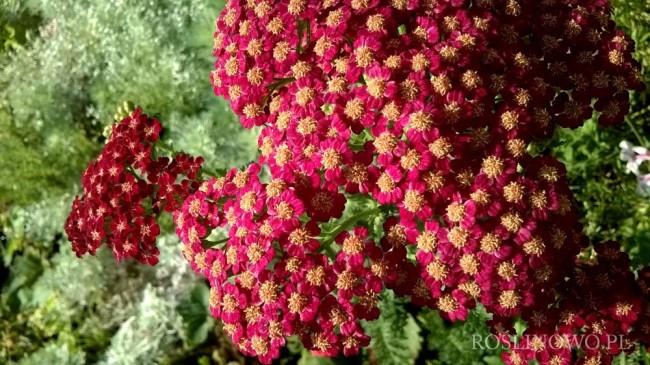 Krwawnik pospolity 'Red Velvet' (Achillea millefolium)
