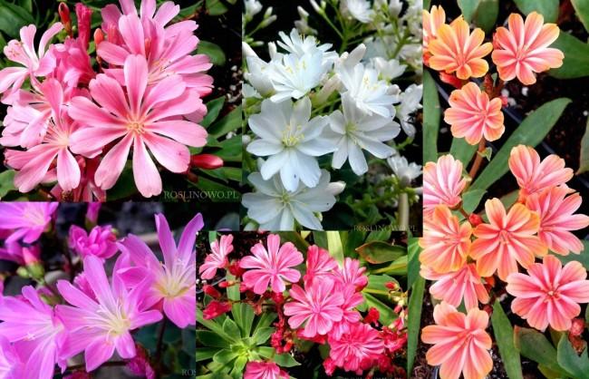Lewizja liścieniowa mix kolorów (Lewisia cotyledon Elise)