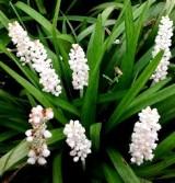 Liriope szafirkowata 'Monroe White' (Liriope muscari)