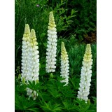 Łubin 'Noble Maiden' (Lupinus 'Noble Maiden')