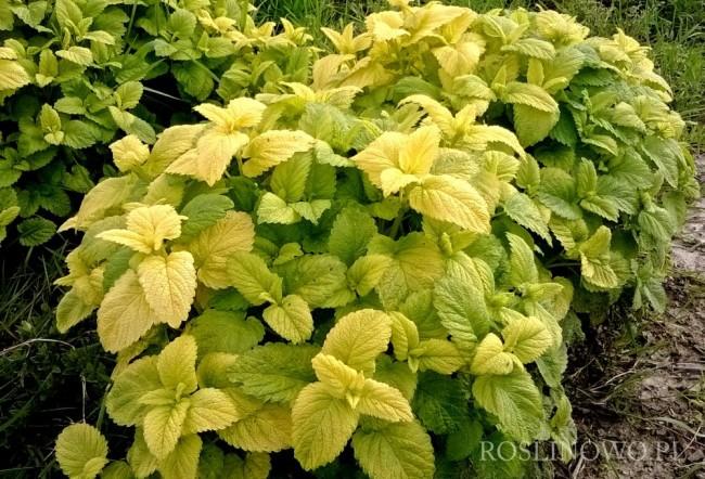 Melisa lekarska 'Gold leaf' (Melissa officinalis)