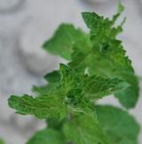 Mięta pieprzowa (Mentha x piperita)