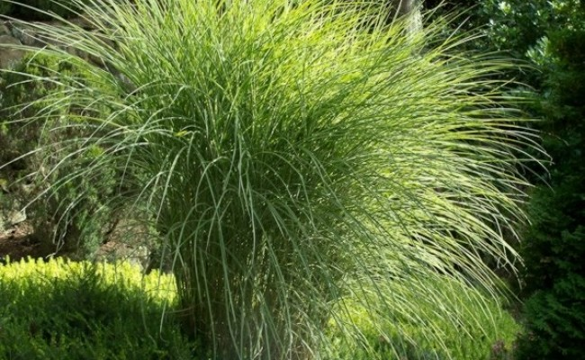 Miskant chiński 'Morning Light' (Miscanthus sinensis)