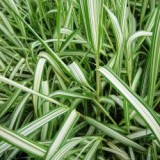 Mozga trzcinowata 'Feesey' (Phalaris arundinacea)