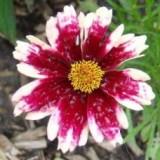 Nachyłek 'Ruby Frost' (Coreopsis hybrida)