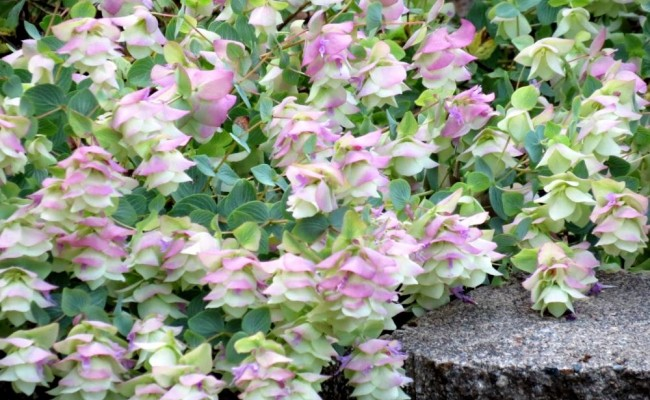 Oregano, lebiodka  'Kent Beauty' (Origanum 'Kent Beauty')